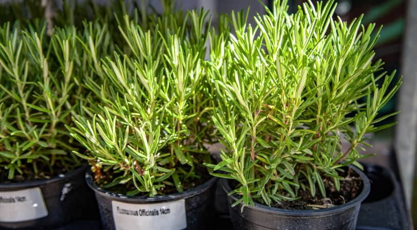Rosemary plants in flowerpots