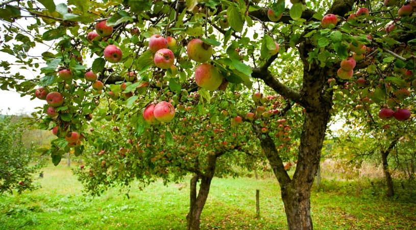 The best fertilizer for fruit trees