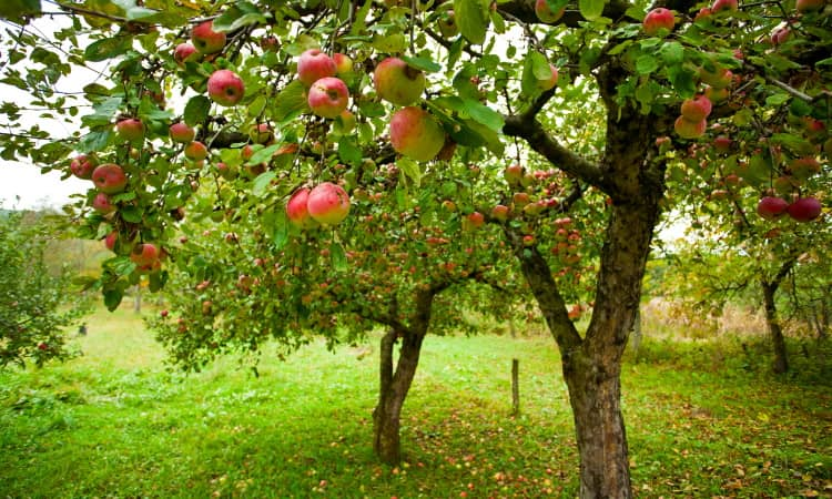 The best fertilizer for fruit trees