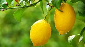 The best fertilizer for citrus trees