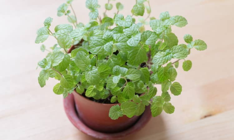 mint is one of the top herbs for growing in containers