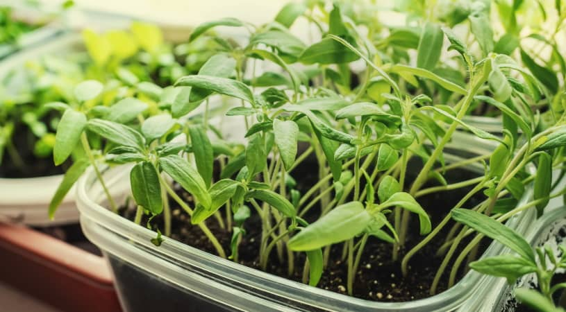 Seedlings of tomatoes and peppers in plastic pots