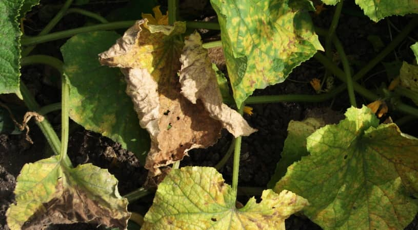 cucumber leaves turning brown and dying