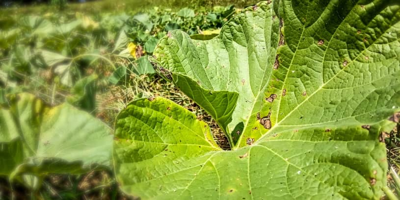 Cucumber leaf blight