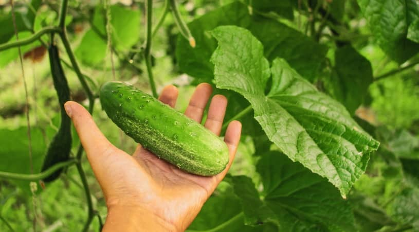 Holding pickling cucumbers