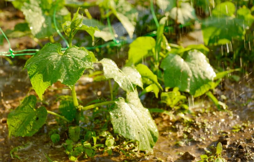cucumber plants being watered