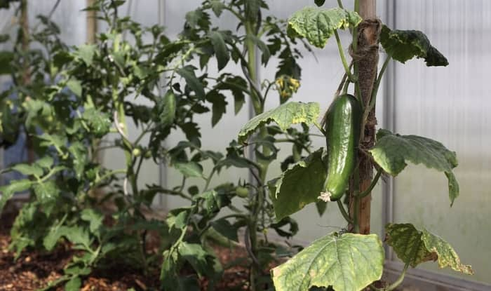 Cucumber plants wilting after transplant
