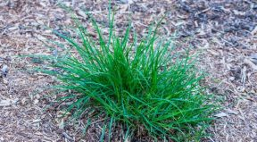 The Top 8 Weeds That Look Like Grass