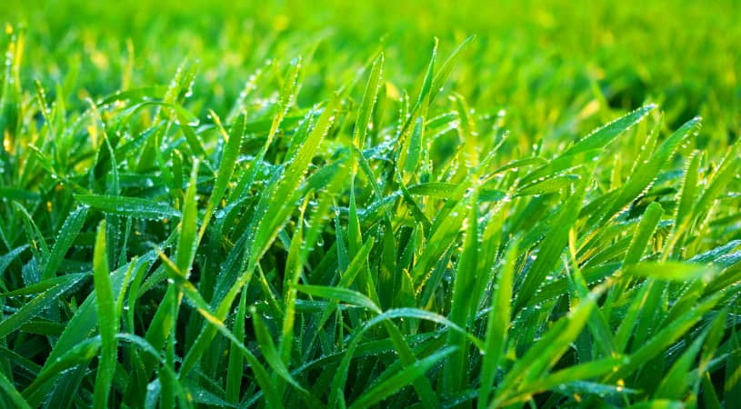 thick grass lawn