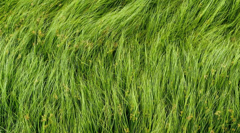 How To Get Rid Of Nutsedge Naturally