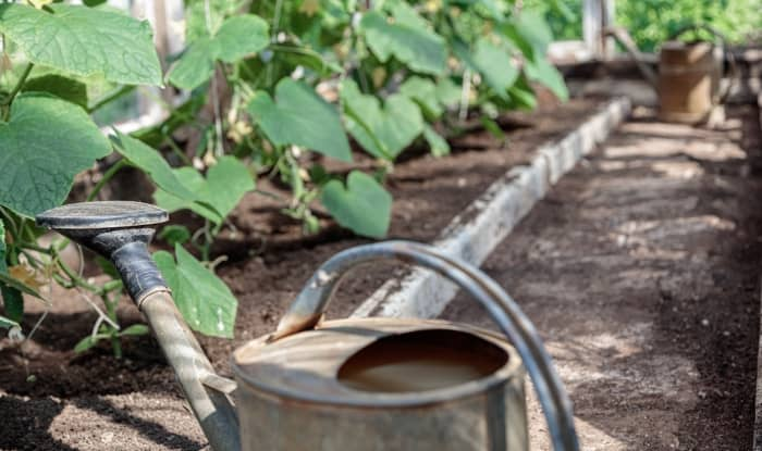 Watering can prepared to water cucumber plants