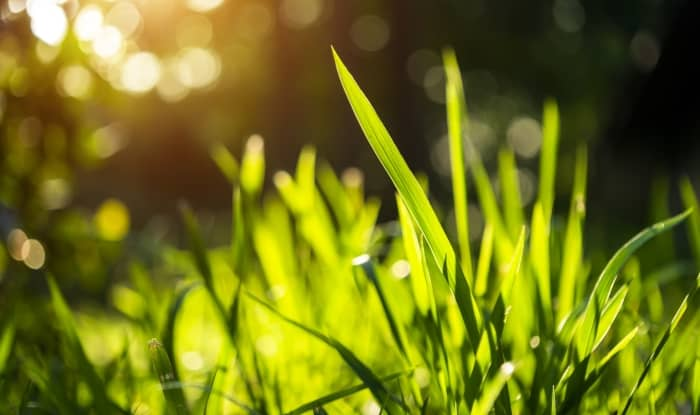 Green grass growing in the yard