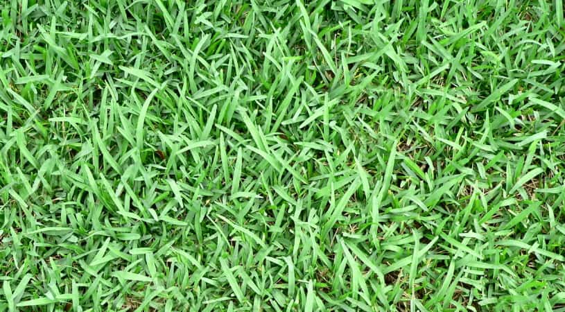 The best weed and feed for St. Augustine grass