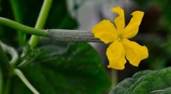 How To Tell If A Cucumber Is Pollinated