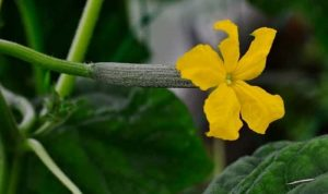 How to tell if cucumber is pollinated