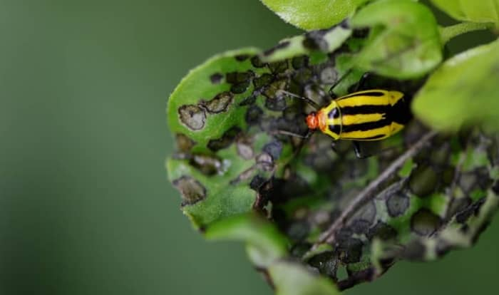 four lined bug