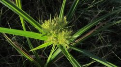 How To Get Rid Of Nutsedge (Nut Grass)