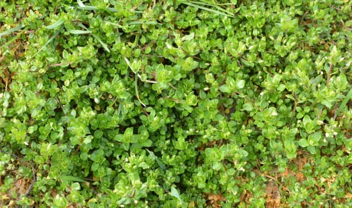 Chickweed plant