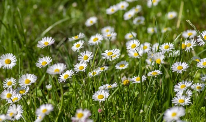 English daisies growing in grass