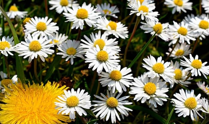 Aster Weed