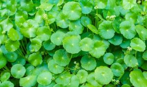 Types Of Weeds With Names And Pictures