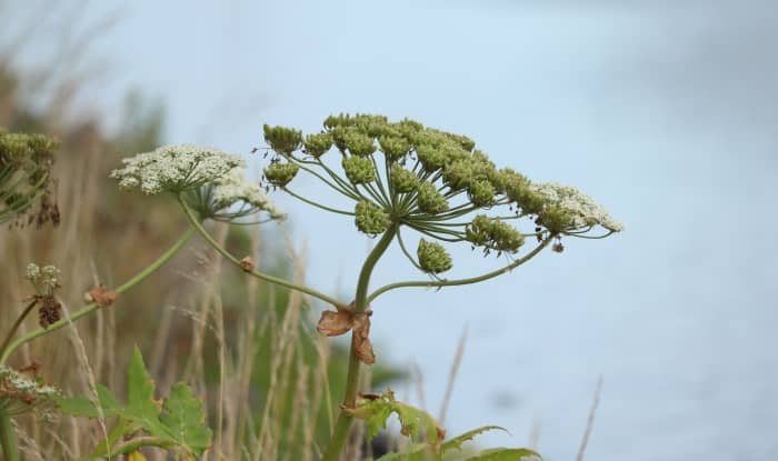 Tall weeds with thick stalks