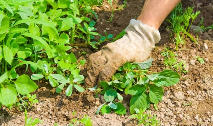 Weeds being removed by hand