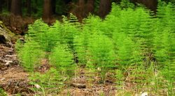 How To Kill Horsetail Weed – 8 Ways That Work