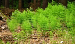 How To Kill Horsetail Weed