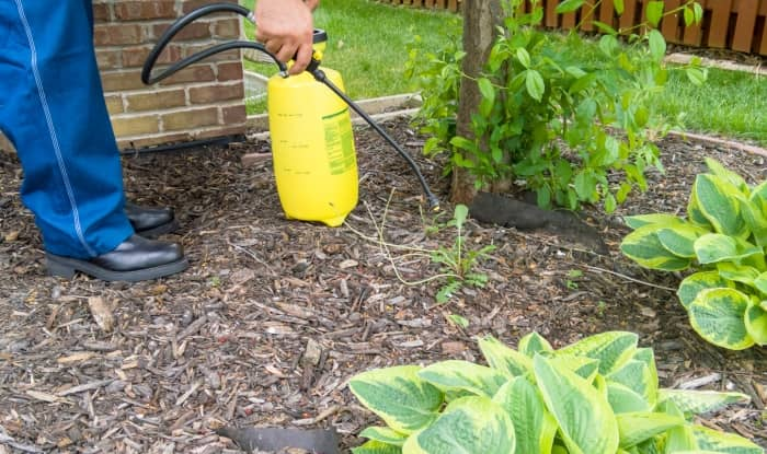 Spraying weeds in mulch with weed killer