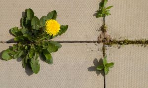 Best weed killer for patios and pavers