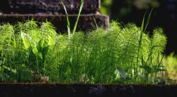 Killing Horsetail With Fire – How To Get The Job Done