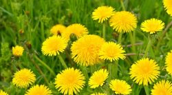 13 Common Lawn Weeds: Identification With Pictures
